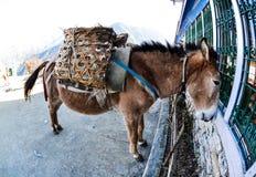 Mule regardant dans la fenêtre, Népal, Fisheye Images stock