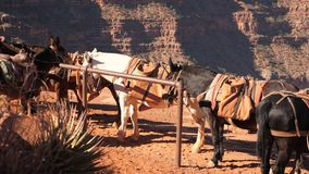 Mule at resting point on Grand Canyon. Establish shot clip stock footage