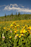 Mule's Ears. This field of flowers was blooming at about 10,000 feet a few miles east of Steamboat Springs, Colorado Royalty Free Stock Photos