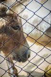 A mule in the stable. Mule is the offspring of a male donkey (ja. Ck) and a female horse (mare). Horses and donkeys are different species, with different numbers Royalty Free Stock Images