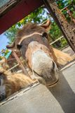 A mule in the stable. Mule is the offspring of a male donkey (ja. Ck) and a female horse (mare). Horses and donkeys are different species, with different numbers Royalty Free Stock Photo