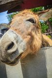 A mule in the stable. Mule is the offspring of a male donkey (ja. Ck) and a female horse (mare). Horses and donkeys are different species, with different numbers Royalty Free Stock Photography