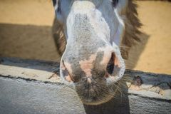 A mule in the stable. Mule is the offspring of a male donkey (ja. Ck) and a female horse (mare). Horses and donkeys are different species, with different numbers Stock Photo