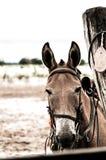 Mule Stock Image
