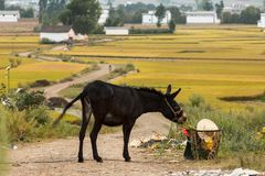 Mule sur un chemin de terre dans la campagne de Yunnan photographie stock