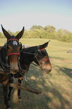 Mule team. A team of mules yoked together ready to go to work on the farm Stock Photography