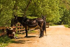 Mule team and driver resting Royalty Free Stock Images