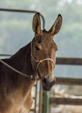 Mule. Tied mule on a ranch Stock Image