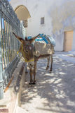 Mule tied to the gate. Royalty Free Stock Photography