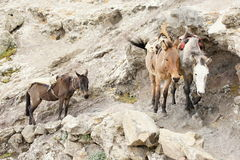 Mule on track trough Bwahit pass, Simien mountains Stock Photography