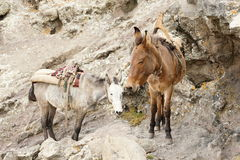 Mule on trail trough Bwahit pass, Simien mountains Stock Images