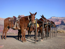 Mule Train. Mules at a hitching post in the grand canyon Stock Photography