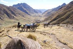 Mule train carries loads. ANDES, PERU 14 AUG 2008 - Mule train carries loads in high mountains of  Cordillera Huayhuash, Andes,  Peru, South America Stock Images