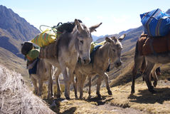 Mule train, carrying loads Stock Images