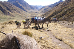 Mule train, carrying loads in high mountains Stock Photo