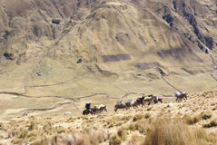 Mule train, carrying loads in high mountains Royalty Free Stock Image