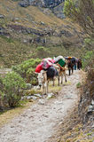 Mule train. In the mountain of the peruvian andes Stock Images