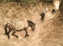 Mule Train Stock Photo