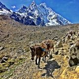 Mule Train on the Salkantay Trail in Peru Stock Photos
