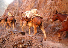 Grand Canyon Mule Train Stock Image