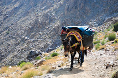 Mule transporting goods in morocco. Mule in the high atlas mountains Stock Photography