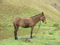 Free Mule Waiting To Work Stock Image - 12266901