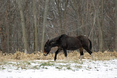 Mule with White Feet in a Winter Pasture Royalty Free Stock Photos