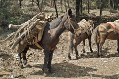 Mule at work Royalty Free Stock Photography