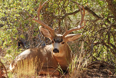 Muledeer Buck Royalty Free Stock Image