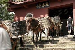 mules arkivfoton