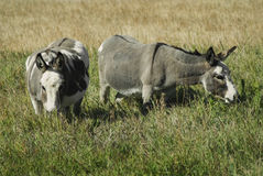 Mules. Two mules or donkeys in a field Royalty Free Stock Image