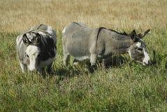 Mules Image libre de droits