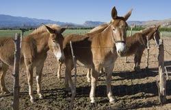 Mules stock photos