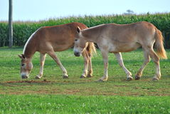 Mules Stock Images