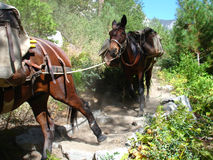 Mules in action Royalty Free Stock Images
