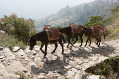 Mules on the Annapurna Base Camp Trek, Nepal Royalty Free Stock Photos