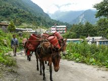 Mules carrying load from Bagarchhap village - Nepal Royalty Free Stock Photography