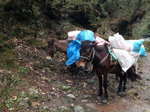 Mules are carrying stuffs for trekking in Nepal Stock Photo
