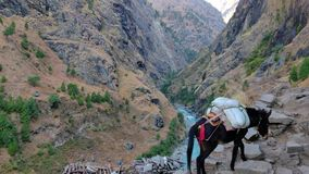 Mules carrying supplies. Mules carrying supply in the remote location of Nepal. Manaslu Conservation Area stock video