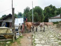 Mules in Chitre - little settlement on way to Poon Hill Stock Photography