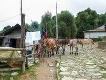 Mules dans Chitre - peu de règlement sur le chemin à Poon Hill photographie stock