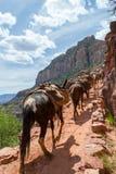 Mules dans Grand Canyon Image libre de droits