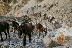 Mules and Donkeys carrying load stock photos