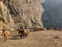 Mules and donkeys grazing in an open field royalty free stock photography