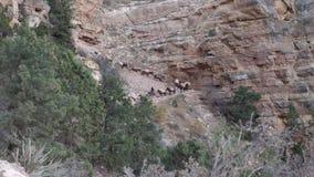Mules down on trail at Grand Canyon. Establish shot clip stock video