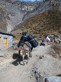 Mules is the only freight transport in the Himalayas Stock Photo