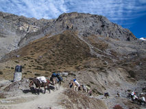 Mules is the only freight transport in the Himalayas Stock Photography