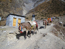 Mules is the only freight transport in the Himalayas Stock Images