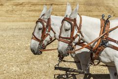 Mules harnessed for work. Mules are harnessed to pull a wagon at the Colfax threshing bee in Colfax, Washington stock photos