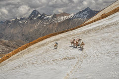 Mules in Himalayas Royalty Free Stock Image